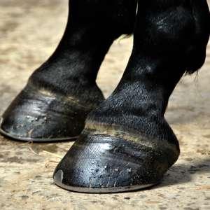 Hufrehe Pferd